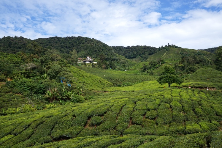 Cameron Highlands1