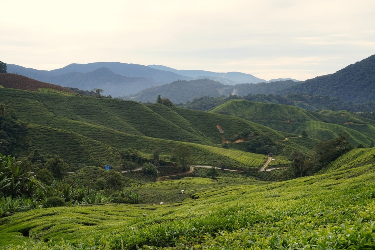 Cameron Highlands12