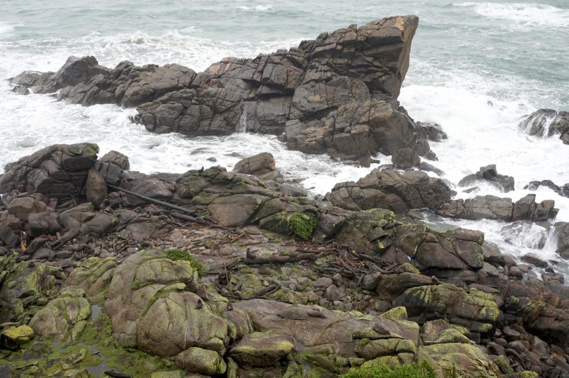 Colonie otaries Westport1